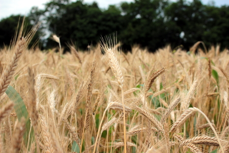 grain field Stockfoto - 117646903