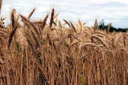 grain field Stockfoto - 117646904