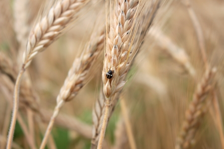 grain field Stockfoto - 117646906