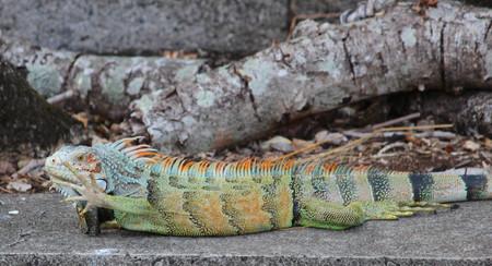 iguana Archivio Fotografico