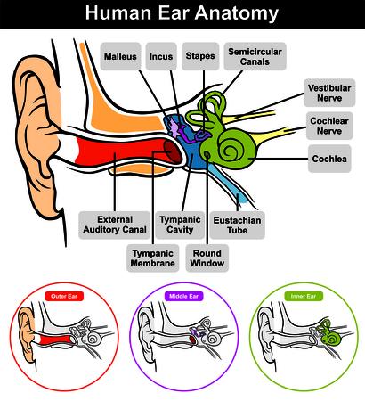 Vector Human Anatomy Ear avec la classification externe conduit auditif cavité de la membrane tympanique intérieure moyenne et toutes les parties externes trompe d'Eustache cochlée Étrier incus malleus nerf fenêtre ronde Banque d'images - 67860886