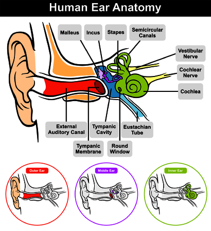 malleus: Vector Human Ear Anatomy with classification outer middle inner and all parts external auditory canal tympanic membrane cavity eustachian tube cochlea stapes incus malleus nerve round window