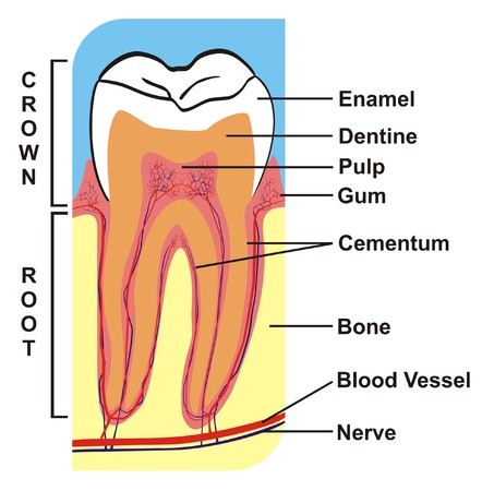 cementum: VECTOR - Cross Section of Tooth (Crown & Root) --- including the parts (enamel, dentine, pulp, gum, cementum, bone, blood vessel, nerve) --- for Education Purpose & Clinics Illustration