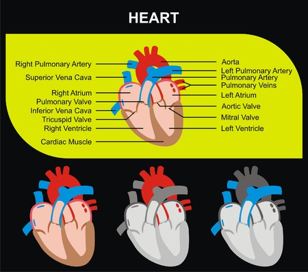 tricuspid valve: VECTOR - Human Heart Section Parts (Aorta, Right & Left Atrium & Ventricle, Pulmonary Artery, Tricuspid Aortic Mitral Valves, Cardiac Muscle, Superior & Inferior Vena Cava) Medical & Educational Use