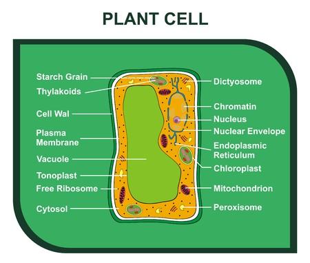 Vector Cross Section of Plant Cell including All  Parts cell wall ribosomes plasma membrane chromatin nucleus chloroplast reticulum mitochondrion Helpful for Education Schools