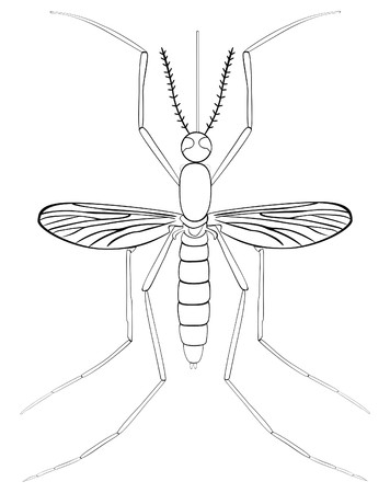 culicidae: Vector Mosquito Insect Illustration