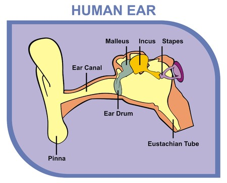 eustachian: Vector Human Ear Including External Middle Outer Ear Parts are Shown Pinna Ear Canal Ear Drum Malleus Incus Stapes Eustachian Tube Useful For School, Medical Education and Clinics Illustration