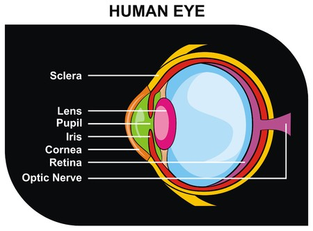 sensitive: VECTOR Human Eye Cross Section including Eye Parts sclera lens pupil iris cornea retina optic nerve Helpful for Clinic and Education in school college university Medical Diagram