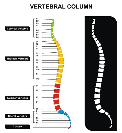 Vector Vertebral Column Spine Diagram including Vertebra Groups Cervical Thoracic Lumbar Sacral Useful For Medical Education and Clinics Illustration