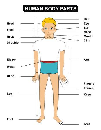 Vector Human Body Parts Including Head Face Neck Shoulder Elbow ...