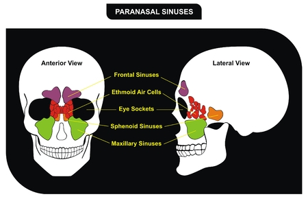 Vector Paranasal Sinuses parts included Frontal Sphenoid Maxillary Sinus Ethmoid Air Cells and Eye Sockets Anterior  Lateral View Helpful for Medical Education Clinics