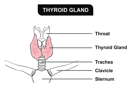 trachea: VECTOR Thyroid Gland Parts included throat thyroid gland trachea clavicle sternum Useful for Education and Clinics Illustration
