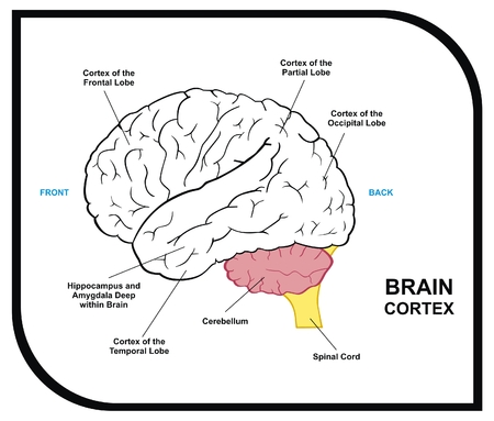 VECTOR Human Brain Diagram including cortex of frontal partial occipital temporal Lobes Useful for Education Hospital and Clinic Illustration
