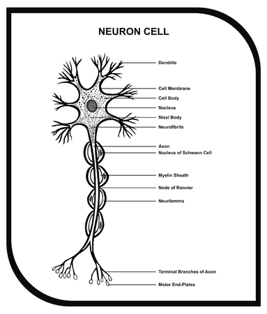 VECTOR - Human Neuron Cell Including Cell Parts dendrite nucleus myelin sheath axon body membrane terminal branches motor end Useful for Education Vector Illustration