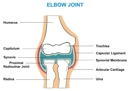 articular: VECTOR - Elbow Joint Cross Section Showing the Major Parts which made the Elbow Joint capsular ligament articular cartilage synovial membrane synovia capitulum trochlea humerus radius ulna Illustration
