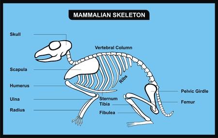 VECTOR - Mammalian Skeleton