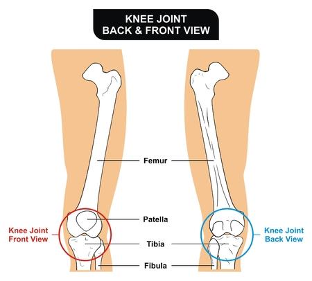 tibia: VECTOR - Knee Joint Front and Back View Bones Femur Tibia Fibula Patella Kneecap