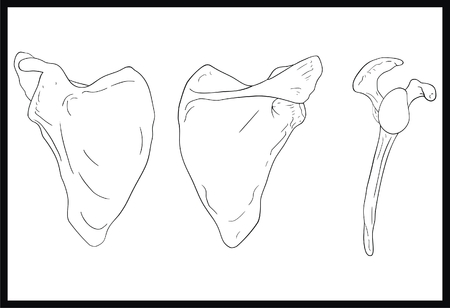 VECTOR - Scapula Human Body Bone Front, Back and Lateral View