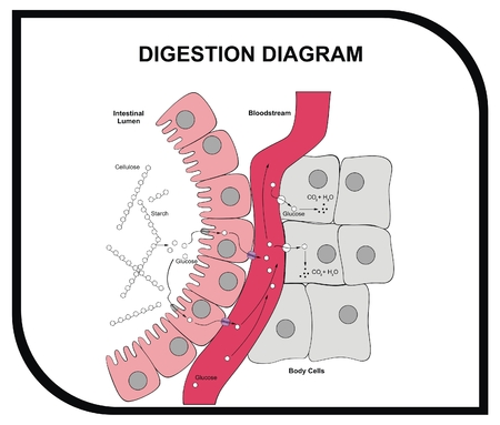 VECTOR - Digestion Diagram - Abdominal Tissue - Medical and Educational