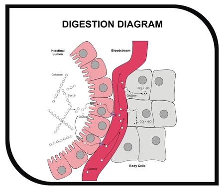 Vector - Spijsvertering Diagram - Abdominale Tissue - medische en educatieve Vector Illustratie