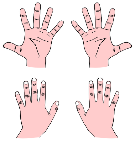 phalanx: Vector - Pair of Human Hands (Palm) - Front & Back view with all fingers: Thumb, Index, Middle, Ring, and Baby (Pinky) also showing Distal, Middle, and Proximal Phalanx