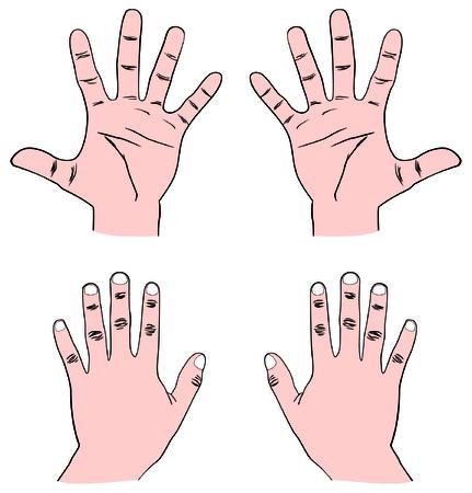 Vector - Par de Manos Humanos (Palm) - Vista Frontal y Posterior con todos los dedos: Pulgar, Índice, Medio, Anillo y Bebé (Pinky) también mostrando Falange Distal, Media y Proximal