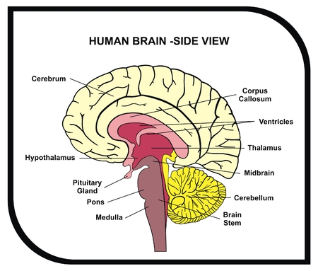 hipofisis: VECTOR - Human Brain Diagram - Side View with Parts ( Cerebrum, Hypothalamus, Thalamus, Pituitary Gland, Pons, Medulla, Brain Stem, Cerebellum, Midbrain ...) - For Medical & Educational Use Vectores