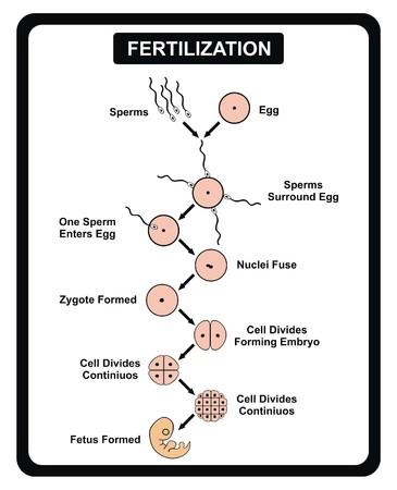 nuclei: Vector - Fertilization Steps