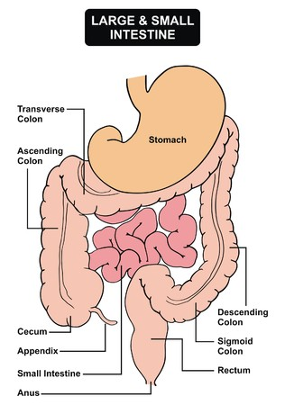 rectum: Digestive System stomach Large & Small Intestine rectum anus vector Illustration