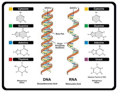 벡터 - DNA와 RNA 스톡 콘텐츠 - 71588671