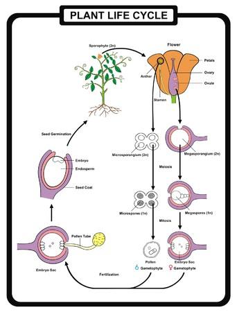 Blütenteile Diagramm Mit Stammquerschnitt Anatomie Der ...