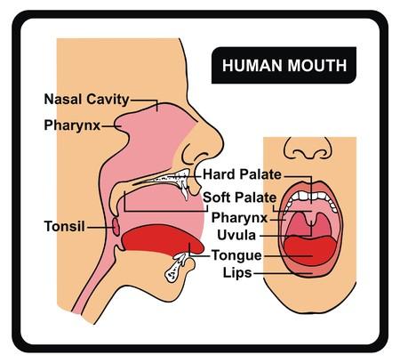 Vektor - Menschliche Mund Anatomie