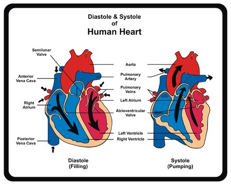 systole: Vector - Diastole & Systole (Filling & Pumping) of Human Heart structure anatomy anatomical diagram Illustration