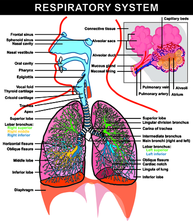 nasal cavity: Vector - Respiratory System (full details) Lung and Alveoli Structure