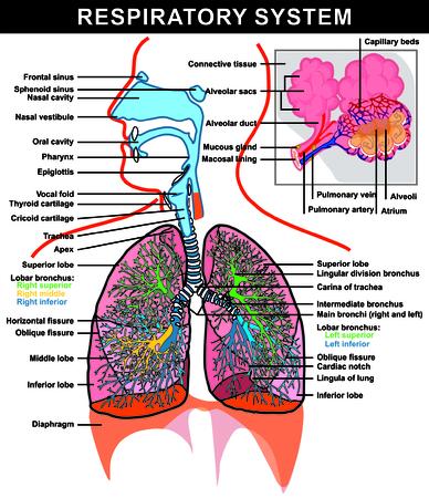 Vector - Sistema Respiratorio (detalles) Estructura y alvéolos pulmonares