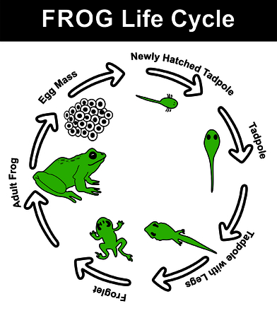 distinct: Vector - Frog Life Cycle (all stages: egg mass, newly hatched tadpole, tadpole, tadpole with legs, froglet, and adult frog) - Educational Material Illustration