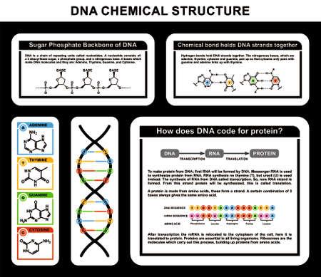 DNA Chemical Structure Sugar phosphate backbone bonds holds strands together protein code Illustration