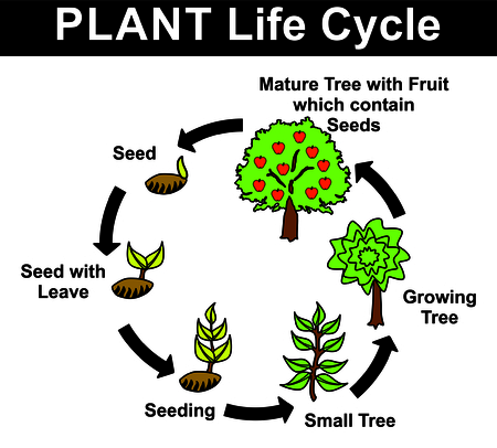 elongacion: Plant Life Cycle (all stages: seed, seed with leave, seeding, small tree, growing tree, mature tree with fruit contain seeds) - Educational Material