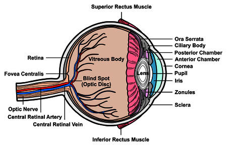 fovea: Human Eye Cross Section Anatomy with all parts Anatomical Structure Artery, Vein, Nerve, Muscles, Pupil, Iris, Cornea, Lens, Blind Spot, Retina, Vitreous Ciliary Body, Fovea Centralis, Chambers
