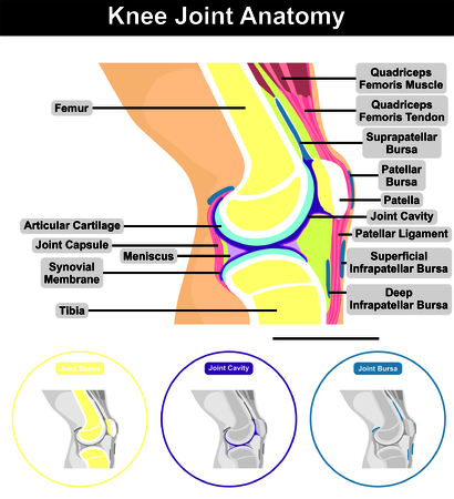 superficial: Human Knee Joint Anatomy structure contents including bones  femur tibia patella cavity muscle tendon capsule synovial membrane ligament superficial deep bursa diagram education medical