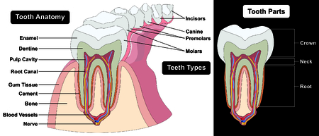 molares: Human Tooth Cross Section anatomy enamel dentine pulp cavity gum tissue bone nerve blood vessels cement canal part crown neck root teeth types incisors canine molars dental medical diagram
