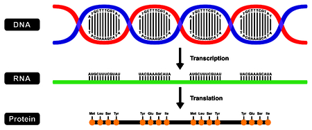 Formation of mRNA RNA and Protein by DNA strand in two stages transcription and translation Ilustração