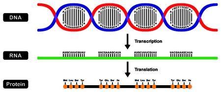 Vorming van mRNA RNA en eiwit door DNA-streng in twee fasen transcriptie en translatie Stockfoto - 71763781