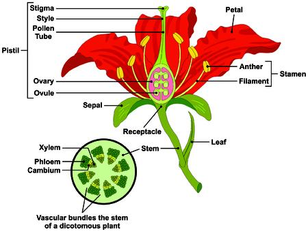 Flower Parts Diagram met stam doorsnede anatomie van planten morfologie en de inhoud nuttig voor school student meeldraden stamper blad bloemblaadje sepal vergaarbak wortel plantkunde wetenschappelijk onderwijs