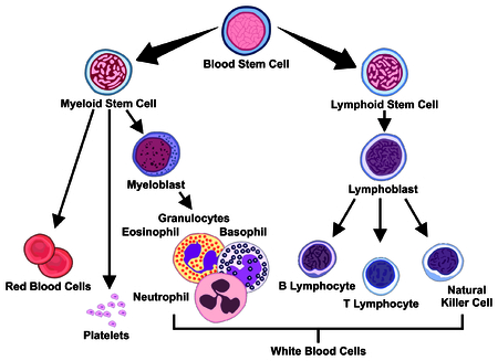 Types of Blood Cells stem myeloid lymphoid lymphoblast lymphocyte natural killer cell myeloblast granulocytes eosinophil basophil neutrophil platelets red white medical hematology education Vectores