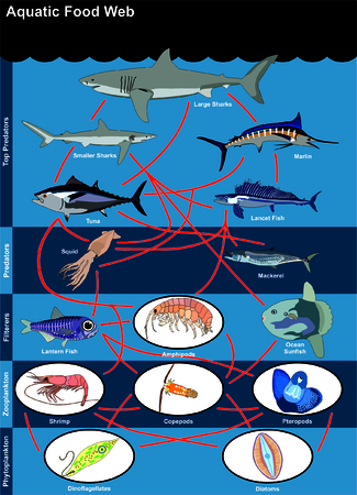 Aquatic Food Web lives in oceans open seas including top predators filterers zooplankton phytoplankton with examples shark marlin tuna lancet lantern fish squid mackerel sunfish shrimp diatoms