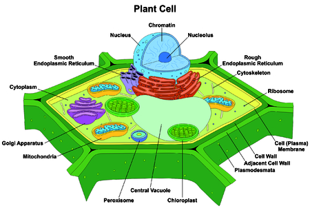 golgi apparatus: Plant Cell Anatomy Diagram Structure with all part nucleus smooth rough endoplasmic reticulum cytoplasm.