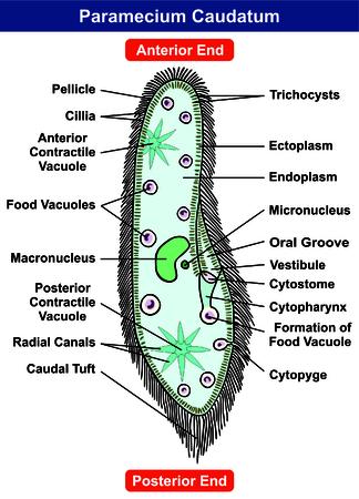 Paramecium Caudatum Diagram Single Celled Protists Animal Royalty