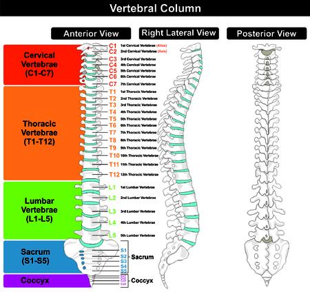Colonne vertébrale structure de la colonne vertébrale du corps humain