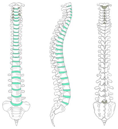 Vertebrale Kolom ruggengraat structuur van het menselijk lichaam Stockfoto - 71810375